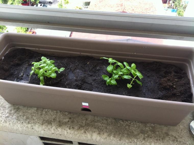 Se puede plantar en sitios tan inhóspitos como encima de un aire acondicionado en Panamá.